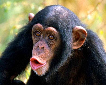 File:ChimpanzeeB.jpg