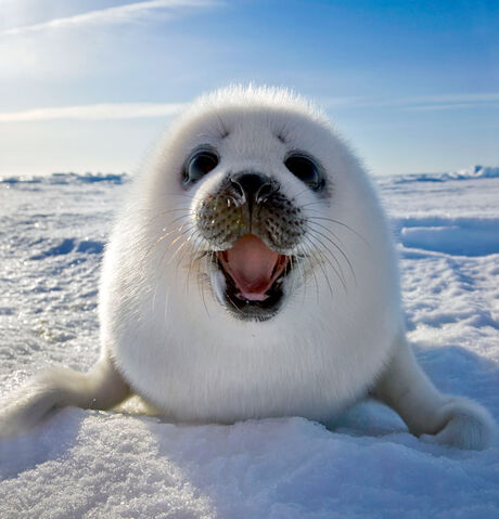 File:Awww-cute-seal-white-snow.jpg
