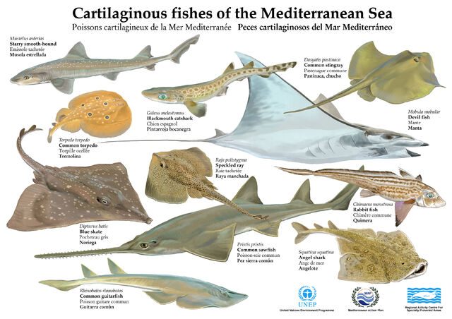 File:Poster cartilag fish 2.jpg