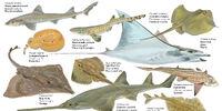 Chondrichthyes (Taxonomy)