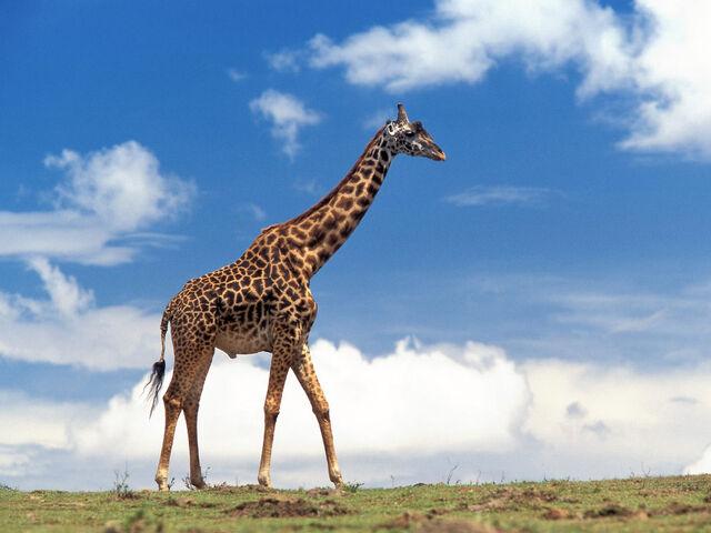 File:Giraffe-01.jpg