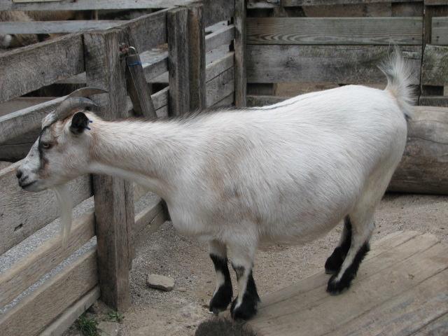 File:Pygmy Goat on a Log.jpg