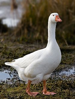 File:Domestic Goose.jpg