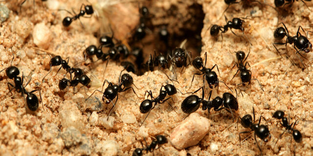 File:Small-ants.jpg