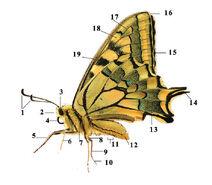 Le papillon libertin-Image