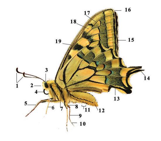 Fichier:Le papillon libertin-Image.jpg