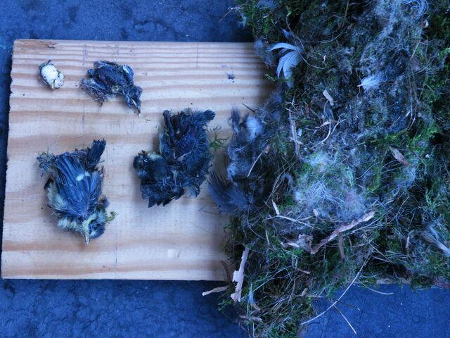 File:Dead bluetits.JPG