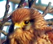 Kestrel (female) MHP 17-01-2010