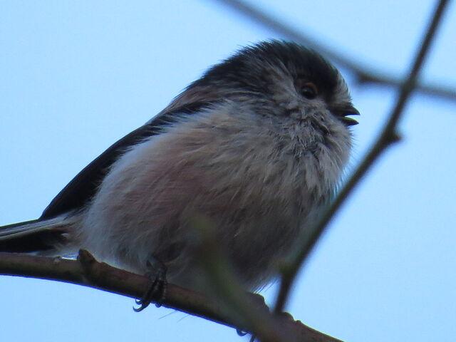 File:Long-tailed tit.JPG