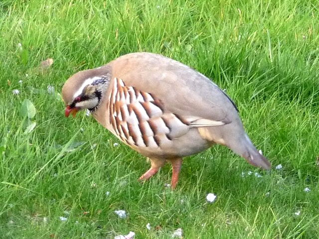 File:Red Legged Partridge Little Venice 20 Apr.jpg