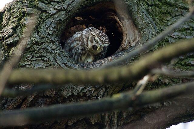 File:Little owl 115.jpg