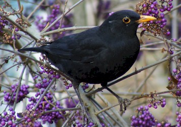 File:Blackbird.jpg