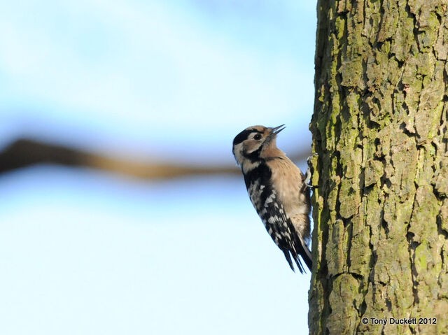 File:Lesser Spotted Woodpecker.jpg