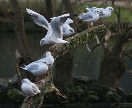Blackheadedgulls-broomfieldpark-katymcgi