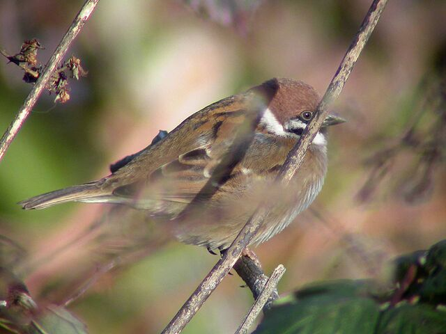 File:Tree Sparrow (Beddington SF 07-02-05).jpg