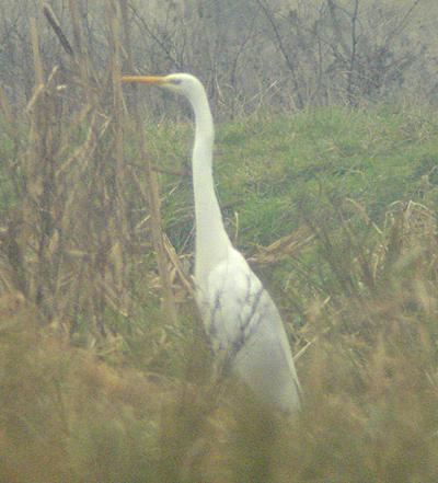 2007-12-22-131-GW-Egret-AA