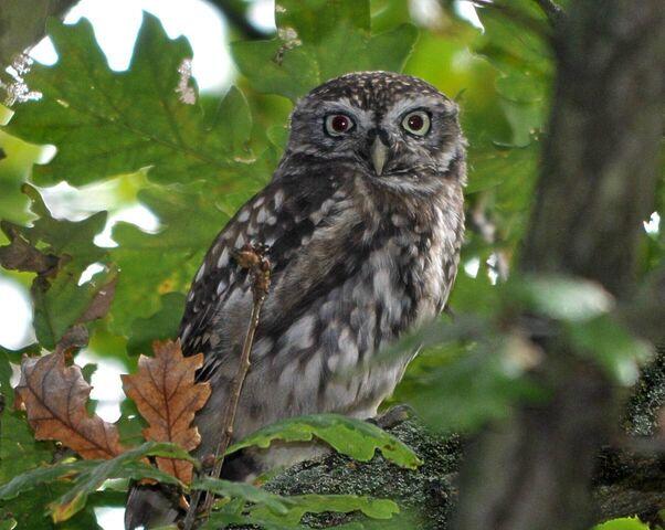 File:Little Owl, Wimbledon Common, 5 Oct. 2012.JPG
