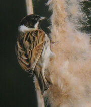 Reed Bunting - Male MHP 26-03-2010