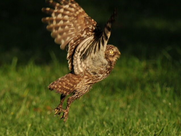 File:Little Owl takes off.JPG