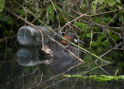 Little Grebe - Ravensbury Park 24-01-2010 sf
