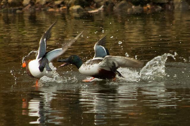 File:Shovellers fighting.jpg