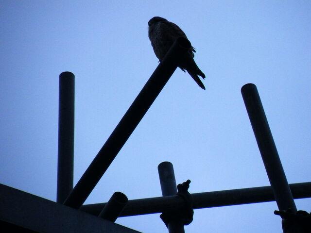 File:Kestrel on scaffolding.JPG