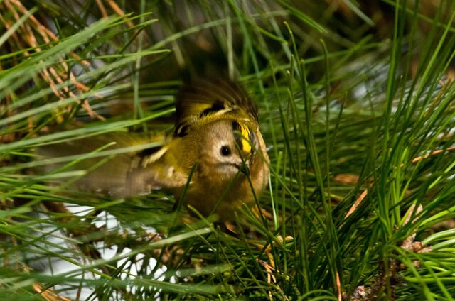 File:Goldcrest wing flapping.jpg