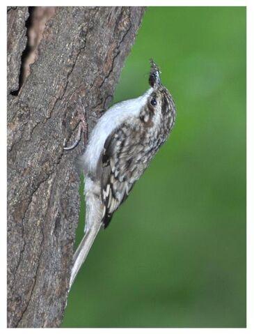 File:Treecreeper.JPG