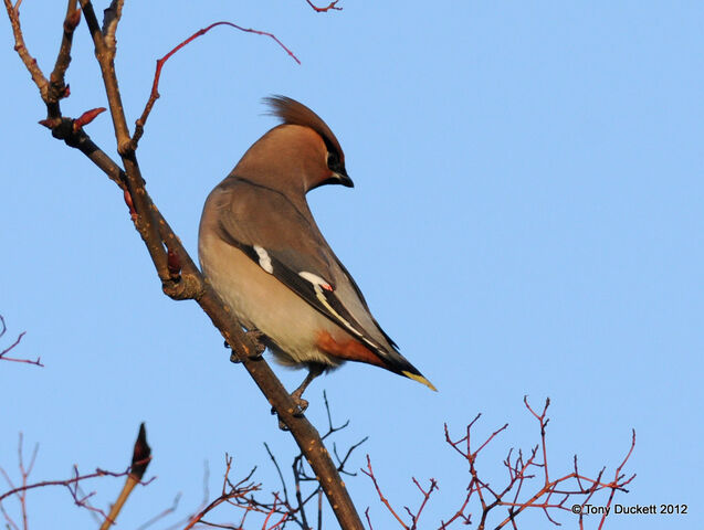 File:Waxwing Mill Hill 1.jpg