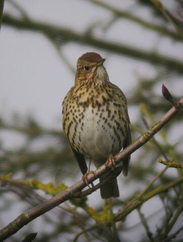 File:Song Thrush - MHP -24-01-2010 msr sf1.jpg