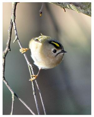 File:Goldcrest, Wimbledon Common.JPG