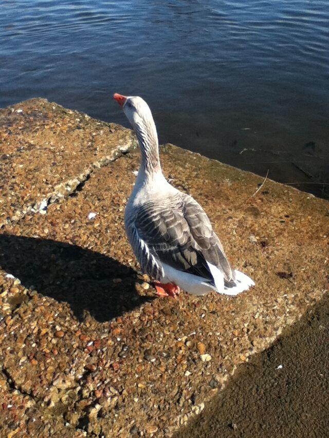 File:Goose.JPG