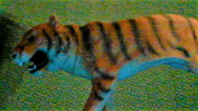 File:Tiger of the Wondering forest.jpg
