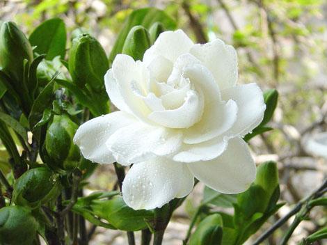 File:Jasmine Flower.jpg
