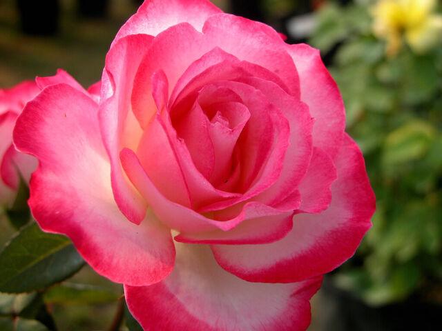 File:Camellia Flower- pink & white.jpg