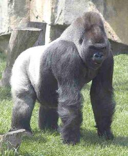 Gorilla silverback zoo dreamstime