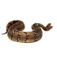 Huge item puffadder 01