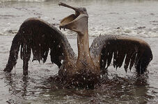 Gulf-of-mexico-oil-spill-animals-covered-in-oil-gallery
