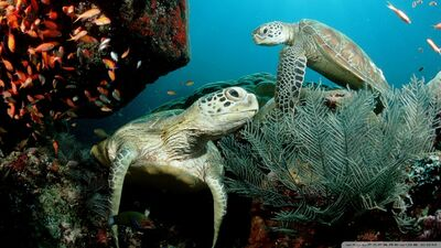 Two green sea turtle-wallpaper-960x540