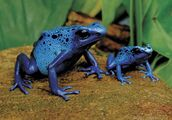 Blue arrow poison frog