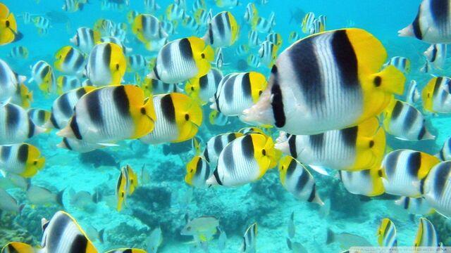 File:School of tropical fish tahiti-wallpaper-960x540.jpg