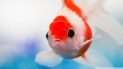 Goldfish 2-wallpaper-960x540