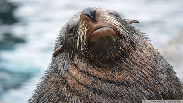 File:Sea lion-wallpaper-960x540.jpg