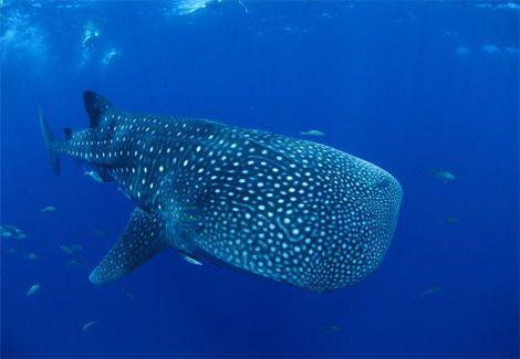 File:Whale-shark-kids-412030 15766 600x450.jpg
