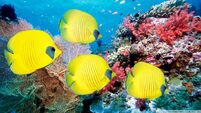 Yellow butterfly fish-wallpaper-960x540