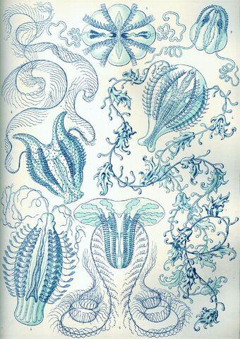 File:1024px-Haeckel Ctenophorae.jpg