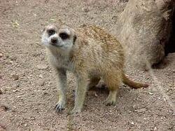 Flame meerkat