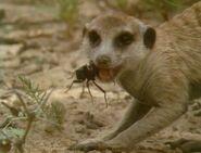 Meerkats United - Eating a Beetle