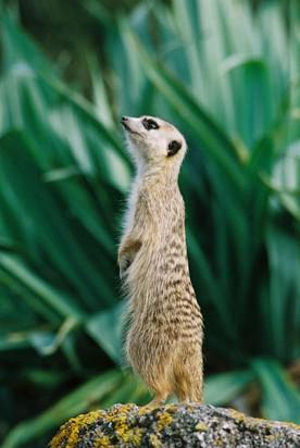 Meerkat at Wellington Zoo