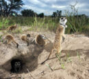 Kalahari Meerkat Project: Meerkat Identification